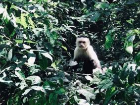 White-faced monkey